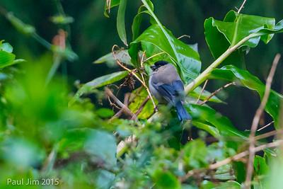 Azores Bullfinch, Pyrrhula murina