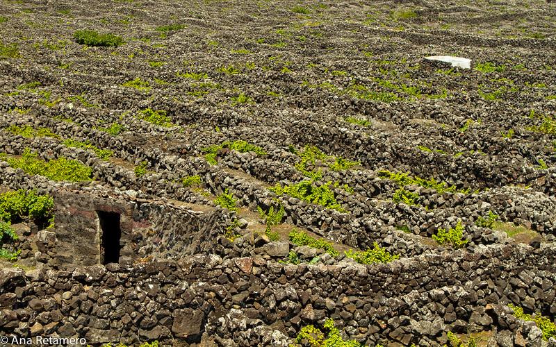Viñas plantadas en suelo de lava y que se rodean con apretadas paredes de piedra suelta, denominadas currais o curraletas, que las protegen del viento marino pero que dejan entrar el sol
