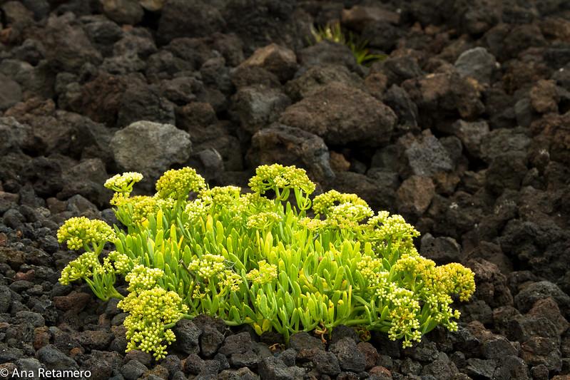 Hinojo marino sobre lava