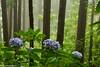 Bosque açoriana