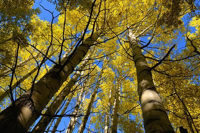 Poplar Canopy near the Cabin
