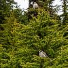 Canada Jays