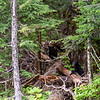 Two Bear Cubs - Callaghan Valley Forestry Service Road