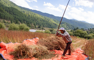 Various types of sticks or poles are used to beat the rice.