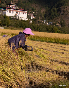 A hand sickle is used to cut all the rice.