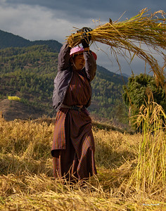 Rice is stacked in small bundles then carried to the central locations where the grain is beaten off the stalk.