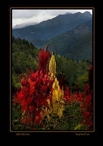 "millet in full bloom in Paro Even ""Mother Nature"" is colorful in Bhutan."