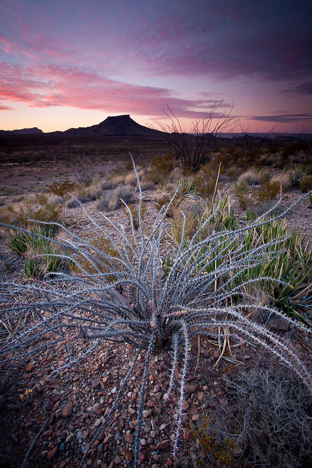 OCOTILLO CACTUS AT SUNRISE