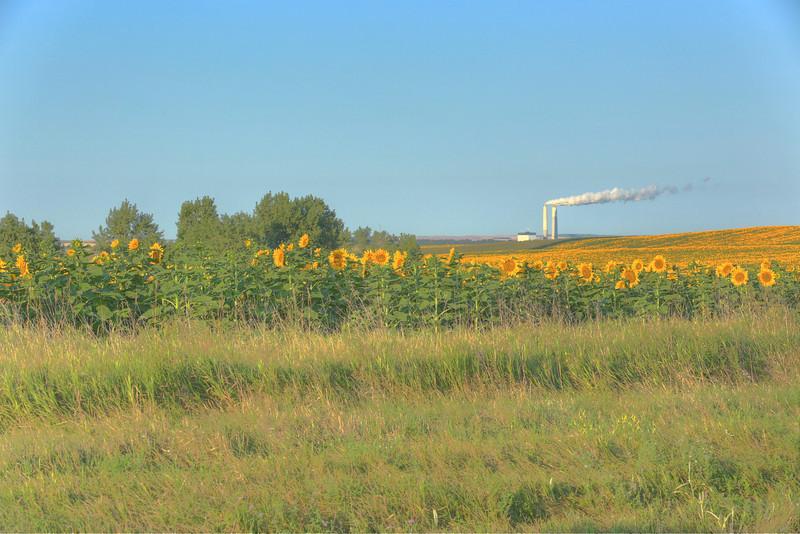 Sunflowered Coal 2