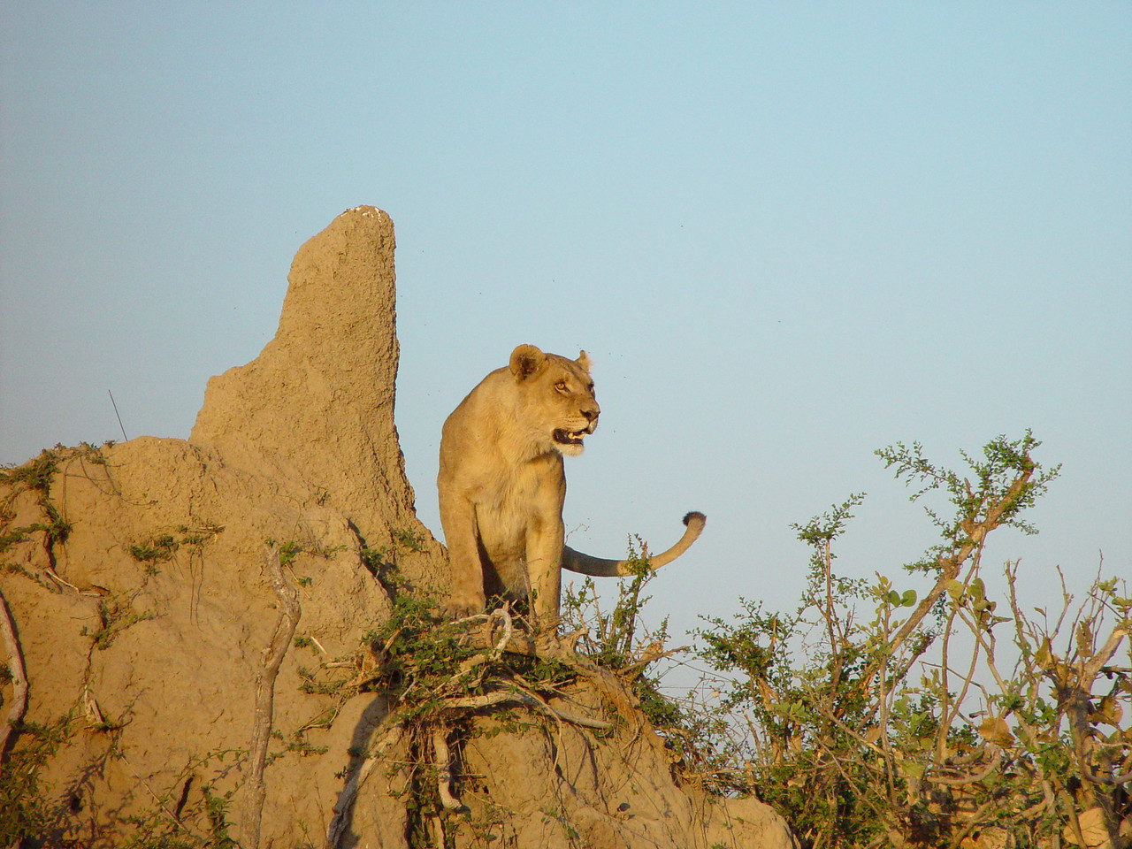 Lioness on a big termite mound