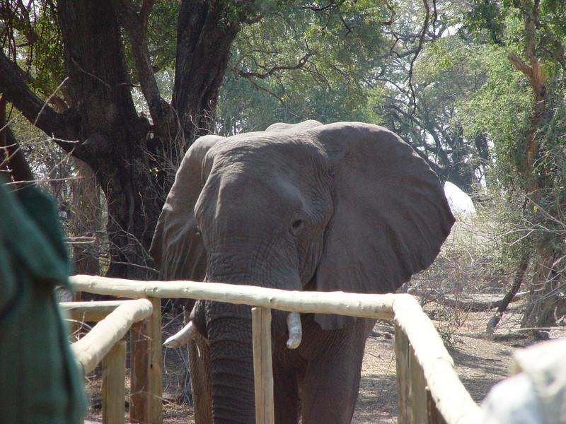 Elephant Charge!