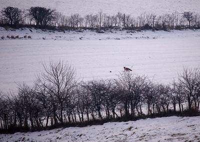 Distant fox