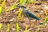 ADULT  STRIATED HERON