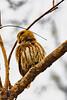 Pygmy-Owl