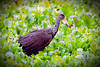 Bare -Faced Ibis