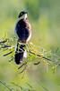 _61B3872 BLACK-CAPPED DONACOBIUS   (mate for life)