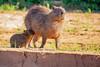 _61B4080Nursing Capybara