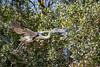_61B3913Cocoi heron in flight