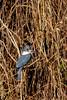 _61B4231 Green Kingfisher