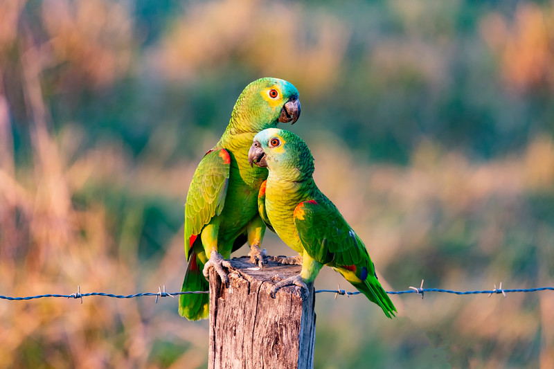 _61B4500 BLUE-FRONTED PARROTS