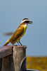 _61B4403  GREAT KISKADEE