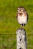 _61B4295 BURROWING OWL