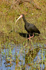_61B4453 BARE-FACED IBIS