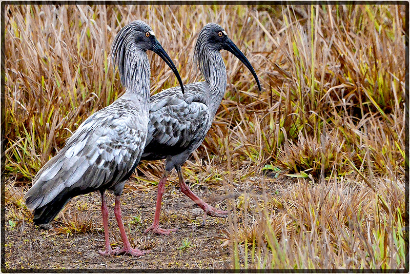 Curicaca-Real or Plumbeous Ibis