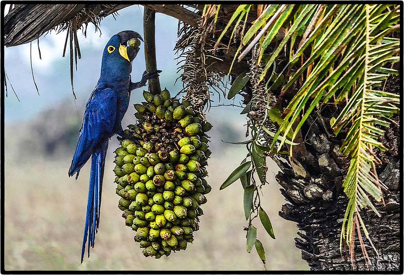 Arara Azul or Hyacinth Macaw