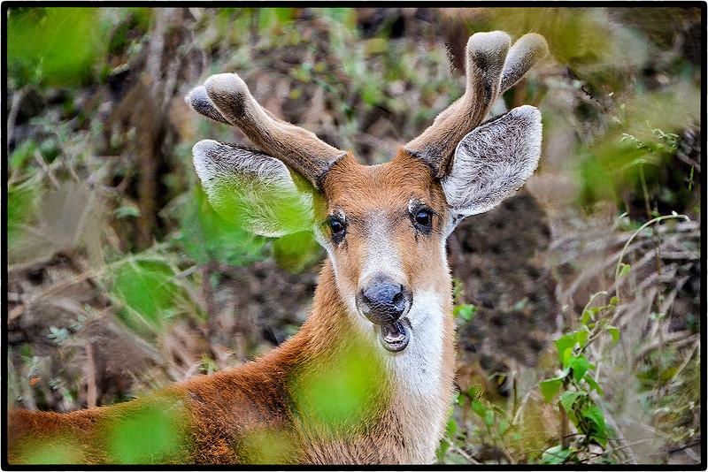 Cervo-do-Pantanal or Marsh Deer