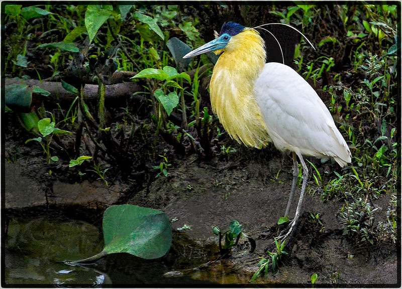 Garda-Real or Capped Heron