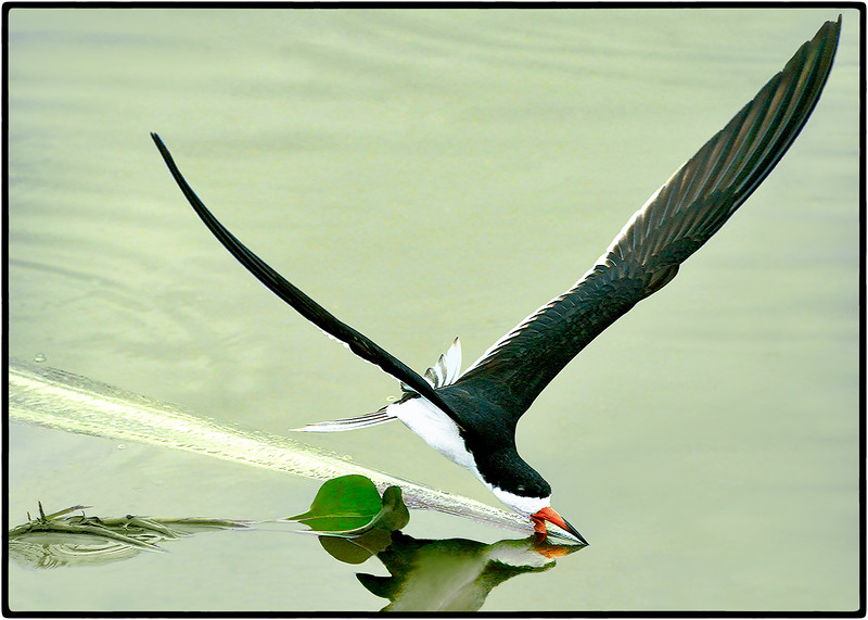 Talhamar or Black Skimmer