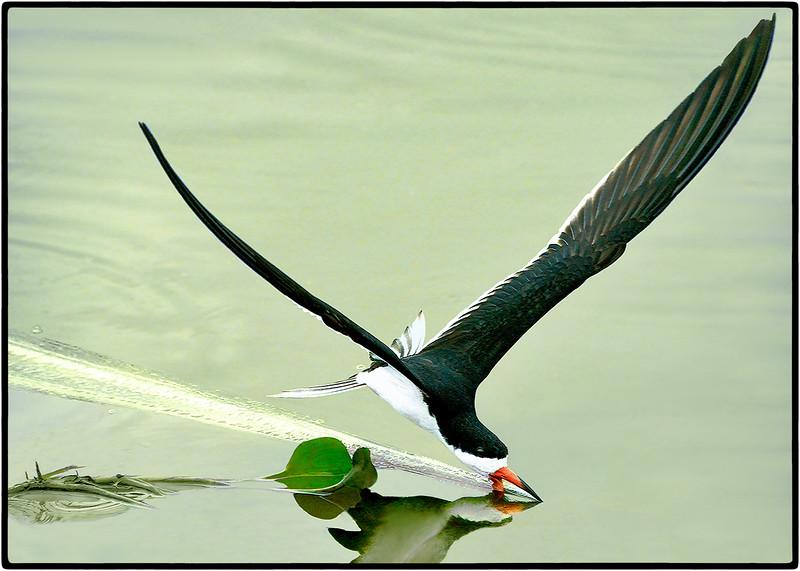Talhamar or Black Skimmer
