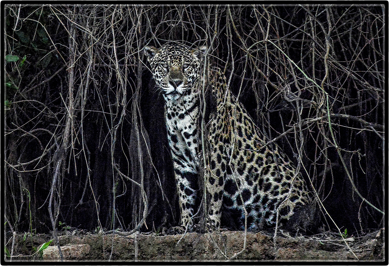 Jaguar: Out of the Darkness of Extinction