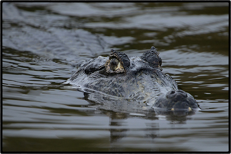 Jacare or Caiman : On the Morning Prowl.