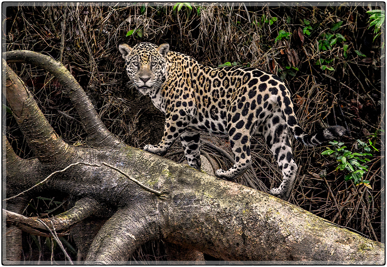 South American Jaguar