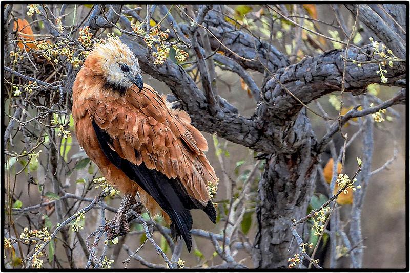 Gaviao - Velho or Black Collared Hawk