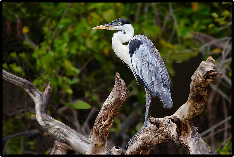 Baguari or Cocoi Heron