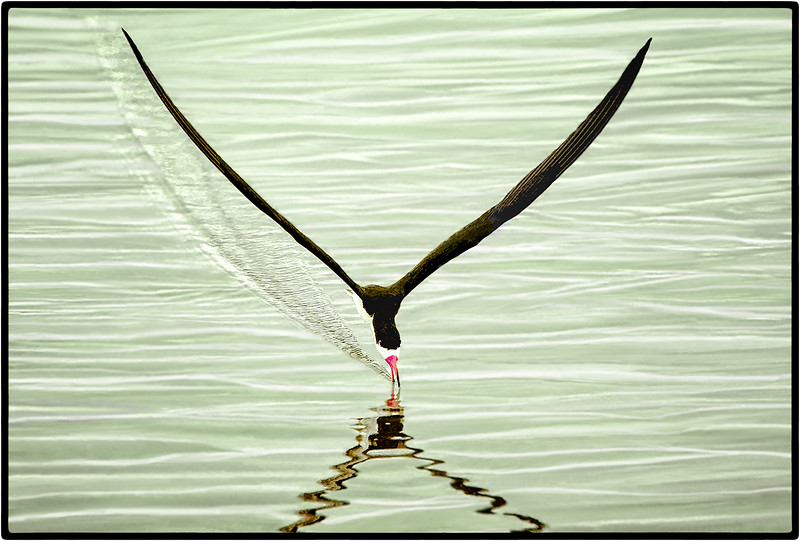 Approaching Talhamar or Black Skimmer