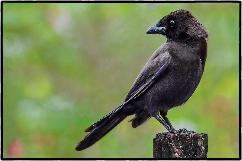 Chororo-do-Pantanal or Mato Grosso Antbird