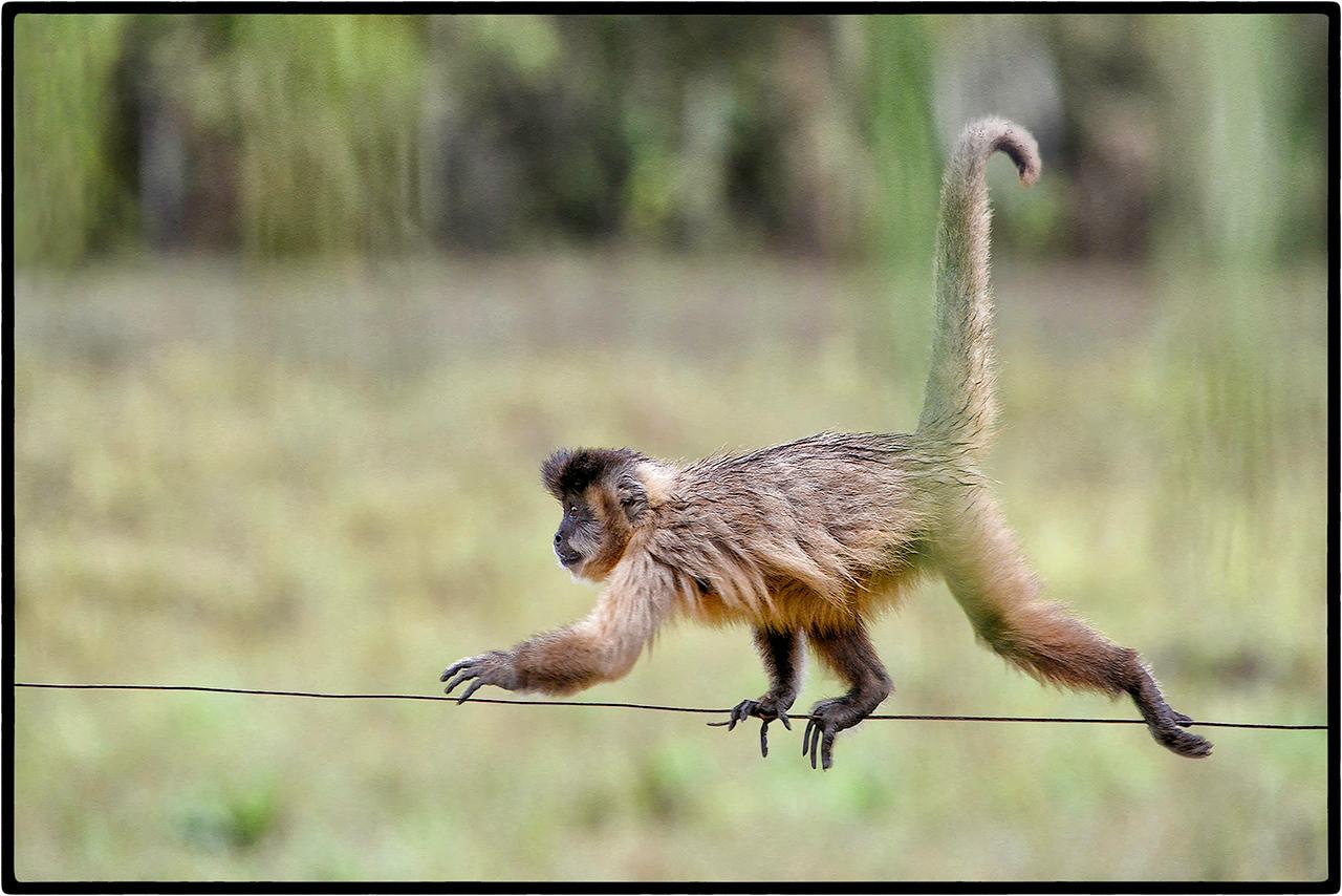 Macaco's  Balancing Act