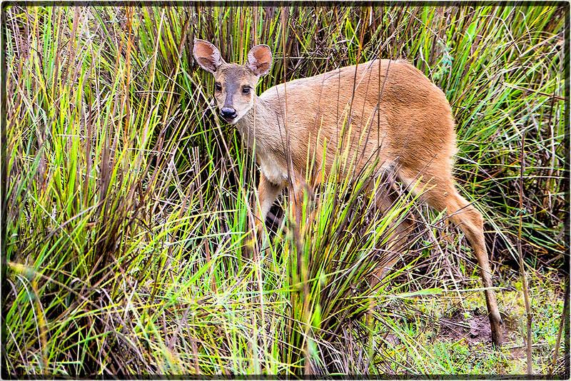 Veado's Tenderness or Red Deer