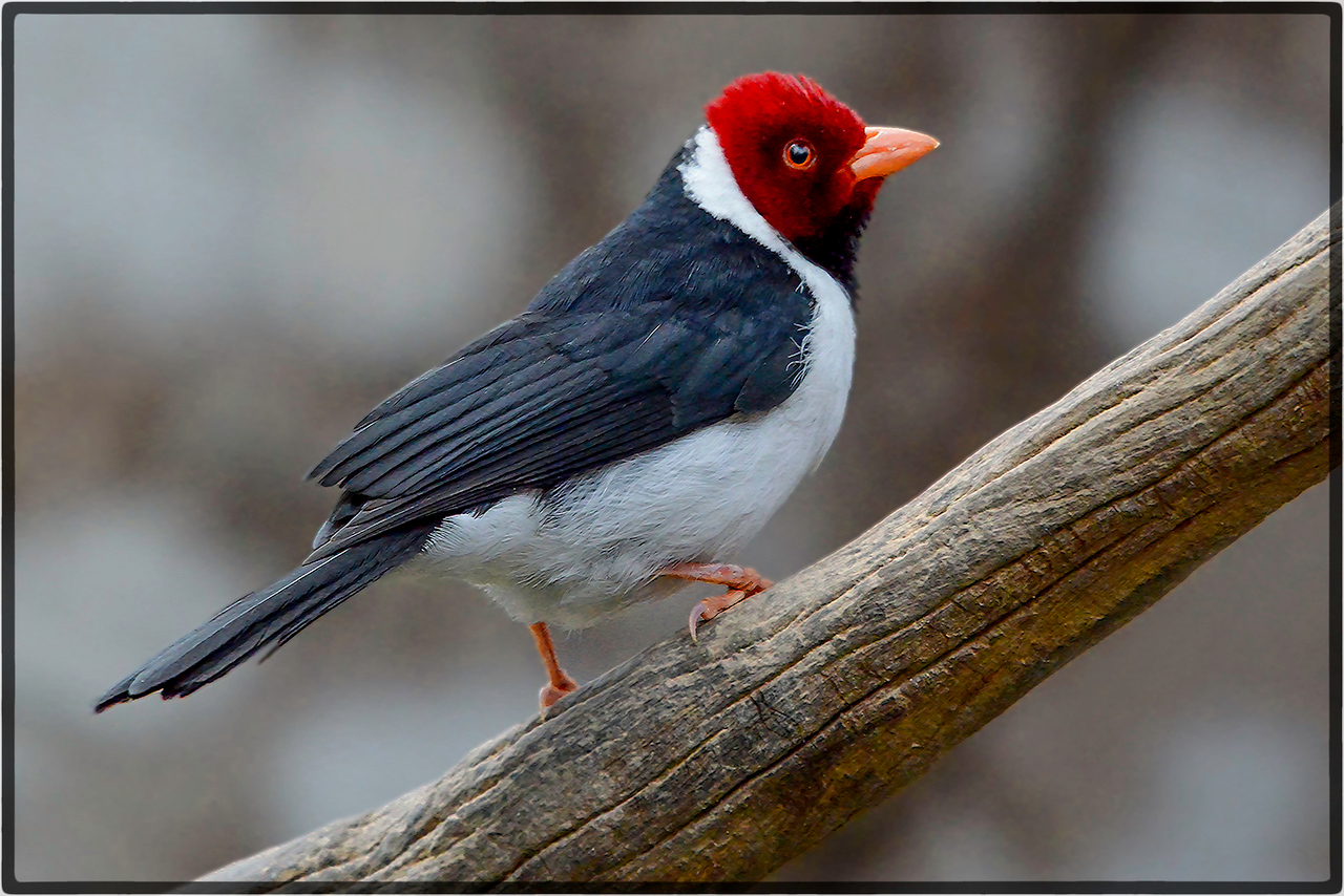 Cavalaria or Yellow Billed Cardinal