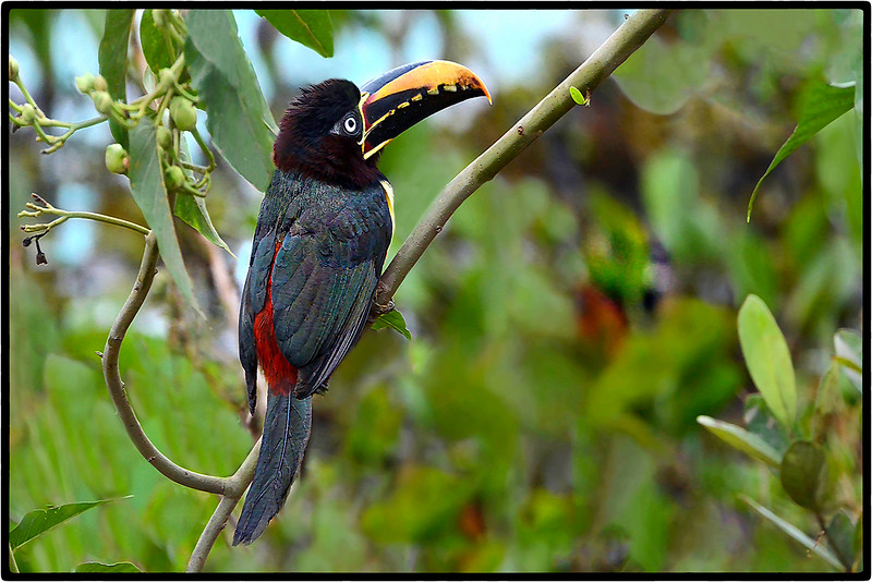 Aracari-Castanho or Chestnut - Eared Aracari