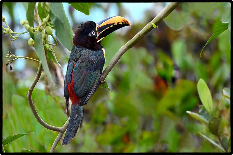 Aracari-Castanho or Chestnut - Eared Aracari
