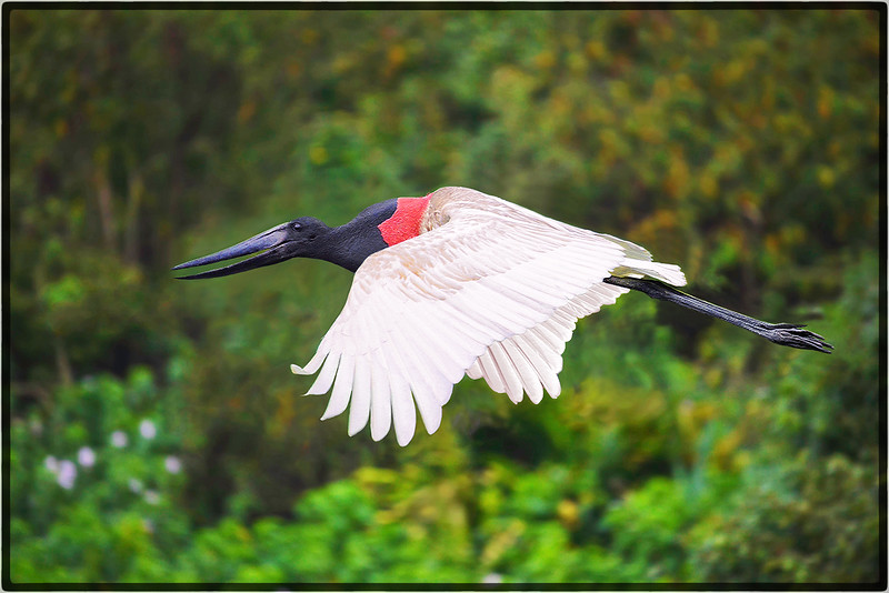 Flying Jabiru Stork