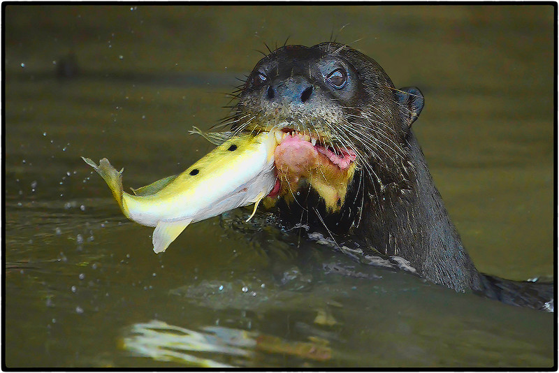 Giant Otter Catch