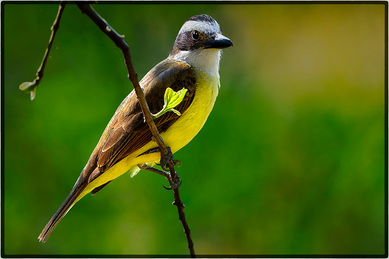 Rusty Collared Seedeater