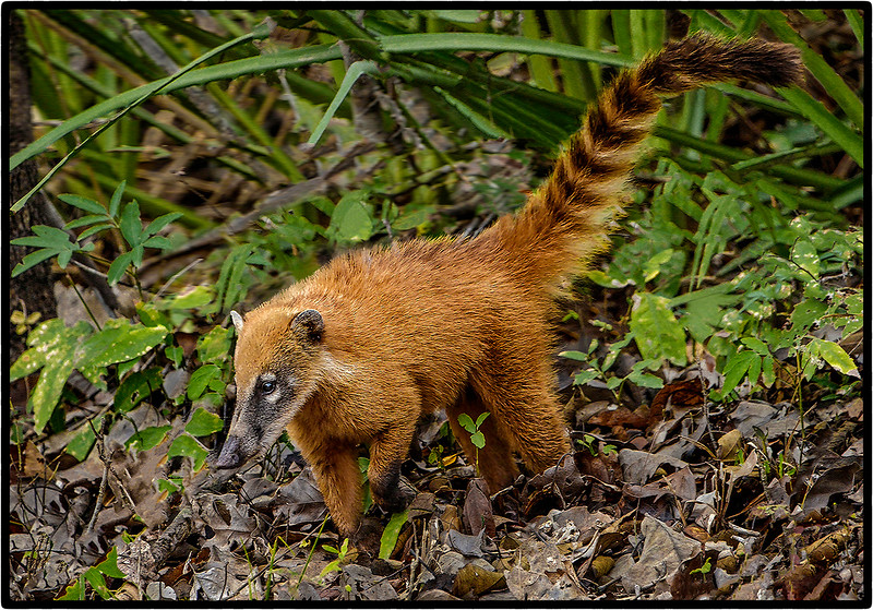 Foraging Coati