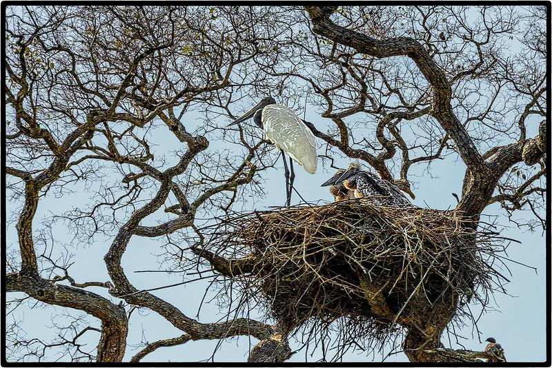 A  Jabiru's Nest